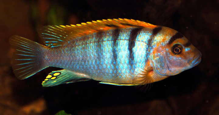 Pyszczak Hongi - Labidochromis Hongi fot. flickr by Brad (bfra07))