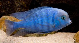 Pyszczak moorii – Delfinek błękitny