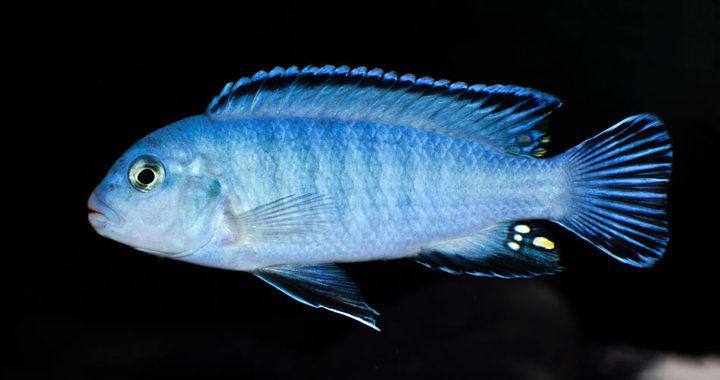 Pyszczak niebieski - ryba akwariowa fot. flickr by ptoddy26