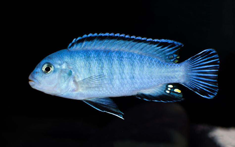 Pyszczak niebieski - Pseudotropheus socolofi