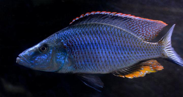 Pyszczak nóż - ryba akwariowa fot. flickr by Marcelo N. Passos