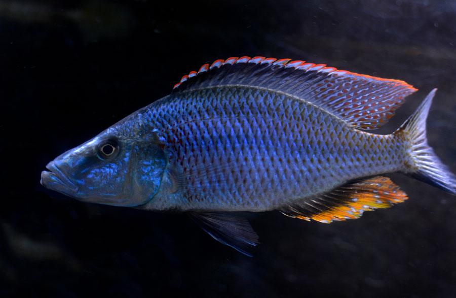 Pyszczak nóż - Dimidiochromis compressiceps