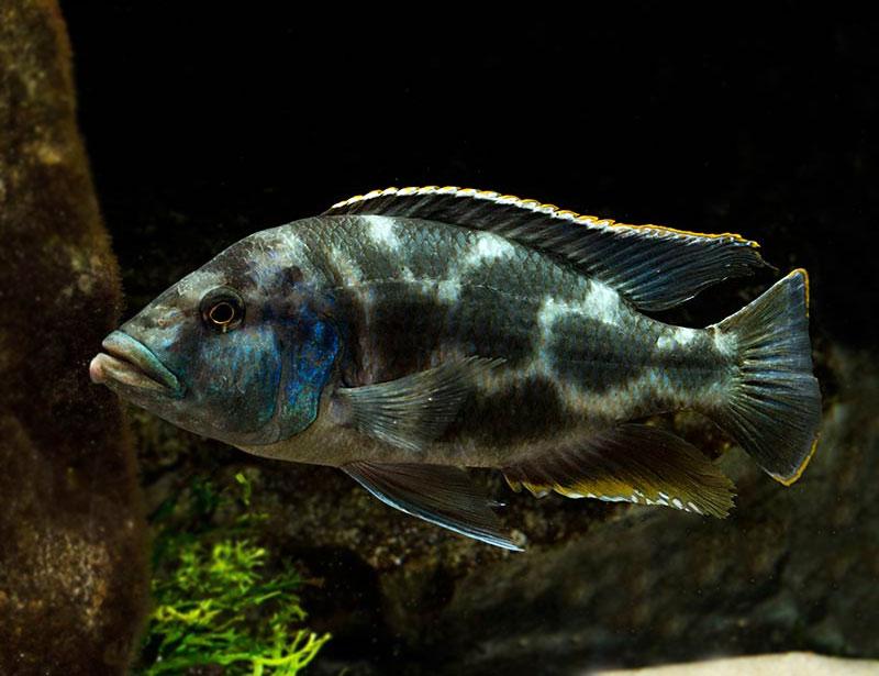 Pyszczak plamisty - Nimbochromis livingstonii