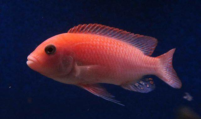 Pyszczak Zebra Red - Ryba akwariowa fot.cichlids.com