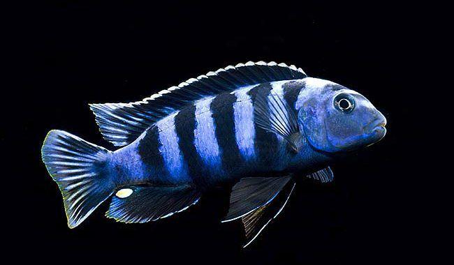Pyszczak Saulosi - ryba akwariowa fot.ciklid.org