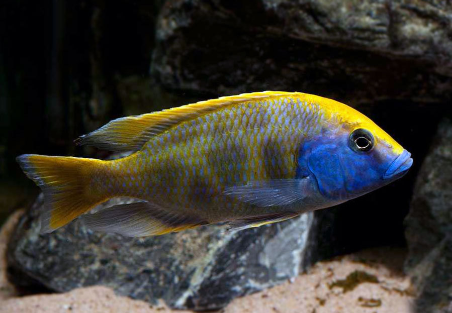 Pyszczak wspanialy - Nimbochromis Venustus-pyszczaki-wspaniale