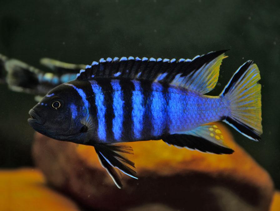 Pyszczak wydłużony - Pseudotropheus elongatus