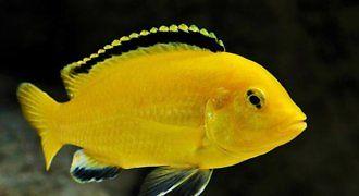 Pyszczak Yellow – Żółty