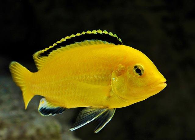 Pyszczak Yellow - Żółty - Pyszczaki - Ryby