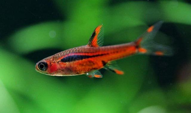 Razbora Borneańska - Brigittae - ryba akwariowa fot.emmenlauer.blogspot.com