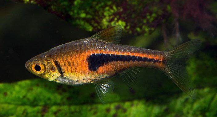 Razbora espei - ryba akwariowa fot.aquaesfera.org