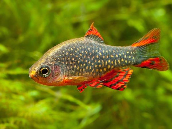 Razbora Galaxy - Rasbora - ryba akwariowa