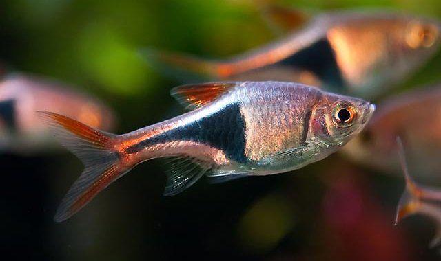 Razbora Klinowa - ryba akwariowa fot.tropical-fish-pictures