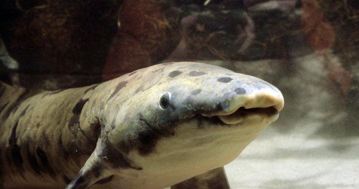 Neoceratodus forsteri - najstarsza ryba fot. foxnews.com