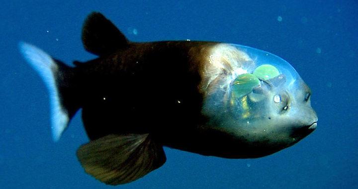 Macropinna microstoma - ryba z przezroczystą głową