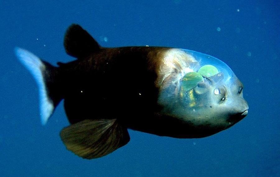 ryba-z-przezroczysta-glowa-macropinna-mi
