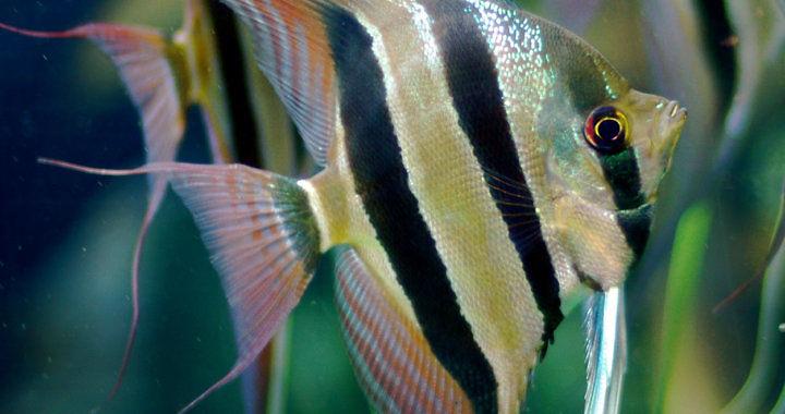 Żaglowiec wysoki - ryba akwariowa fot. wikimedia