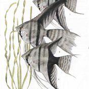 Skalar Żaglowiec - ryba akwariowa - odmiany
