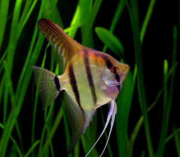 Skalar Żaglowiec - ryba akwariowa- skalary - ryby