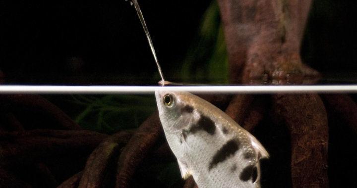 Toxotes jaculatrix - strzelec wyborowy fot. nytimes.com