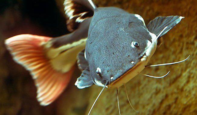 Sum Czerwonoogonowy - ryba fot.zafact.blogspot.com