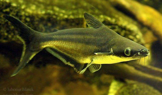 Sum rekini - ryba akwariowa fot.helasek.com
