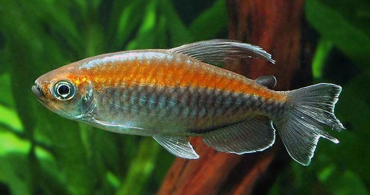 Świecik kongolański - Phenacogrammus interruptus fot. imageevent.com
