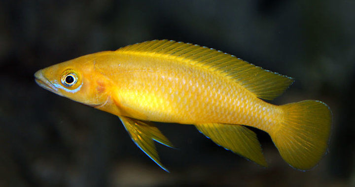 Szczelinowiec Leleupa - ryba akwariowa fot. flickr by Pascal van der Tuuk