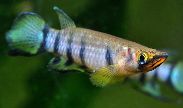Szczupieńczyk Dageta - ryba akwariowa fot.killiclubdefrance.org