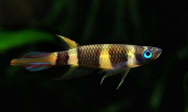 Szczupieńczyk Karłowaty - ryba akwariowa fot.nanofish.com.ua