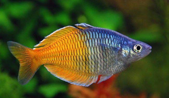 Tęczanka Boesemana - ryba akwariowa fot.nanofish.com.ua