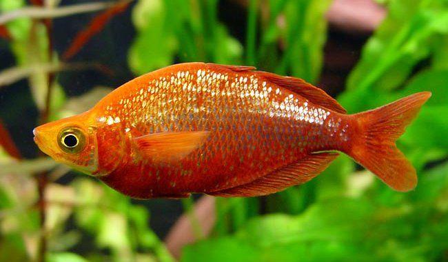 Tęczanka Czerwona - ryba akwariowa fot.famille-schneider.net