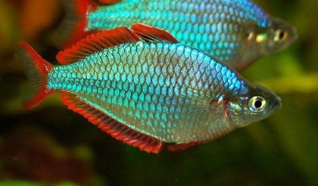 Tęczanka Neonowa - ryba akwariowa fot.rainbowfish.info