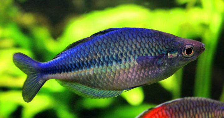 Tęczanka niebieksa - ryba akwariowa fot.flickr by Stef Aquariumworld