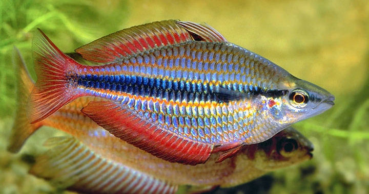 Tęczanka trójpręga - ryba akwariowa fot.rainbowfish.angfaqld.org.au