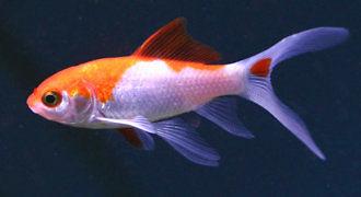 Welonka, Złota rybka - ryba akwariowa fot. flickr by Kate Breimayer