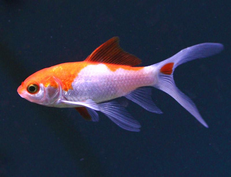 Welonka - Złota rybka