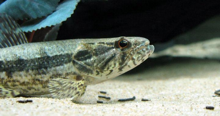 Hoplias malabaricus - ryba akwariowa fot. flickr by Rafael de Moraes Fonseca