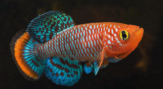 Zagrzebka rachowa - ryba akwariowe fot. planeta-neli.es