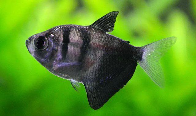 Żałobniczka - Czarna Tetra - ryba akwariowa fot.egunauction.com.au