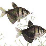 Żałobniczka - ryba akwariowa, samiec samica