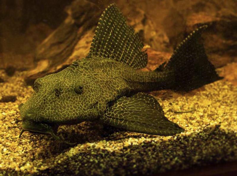 Zbrojnik lamparci - Glyptoperichthys gibbiceps