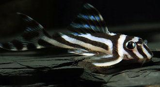 Zbrojnik zebra
