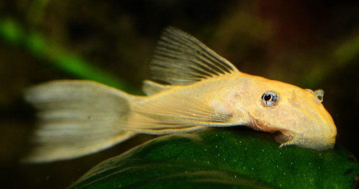 Zbrojnik złoty (Ancistrus Gold) - ryba akwariowa fot. msjinkzd.com