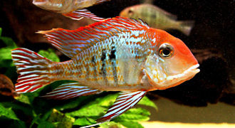 Ziemiojad orange head Tapajos
