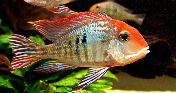Ziemiojad orange head Tapajos - ryba akwariowa fot. monsterfishkeepers.com