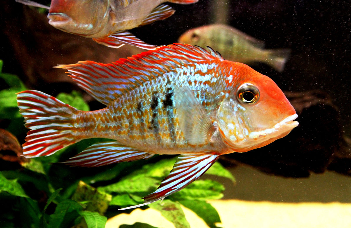 Geophagus orange head tapajos