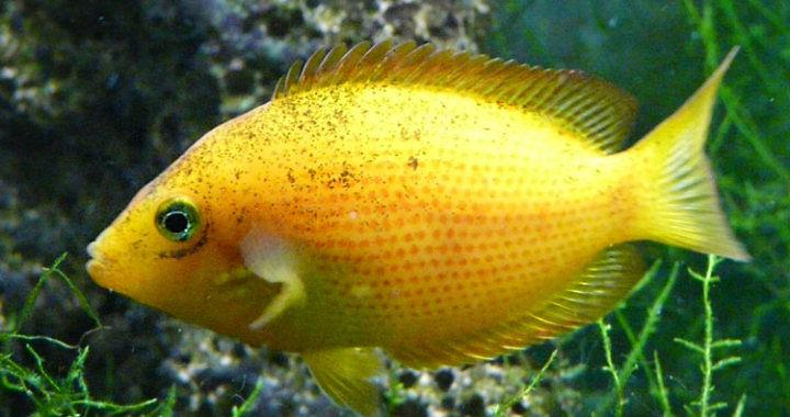Żółtaczek indyjski - ryba akwariowa