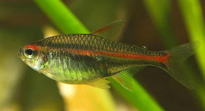 Zwinnik jarzeniec (samica) - ryba akwariowa fot. flickr by Mago62